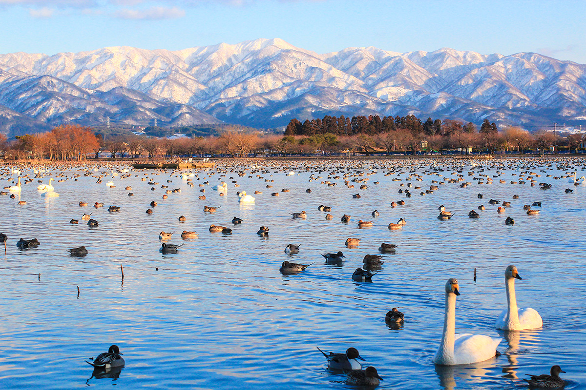 Hyoko Lake: The Swan's Destination, Known All Across the Nation